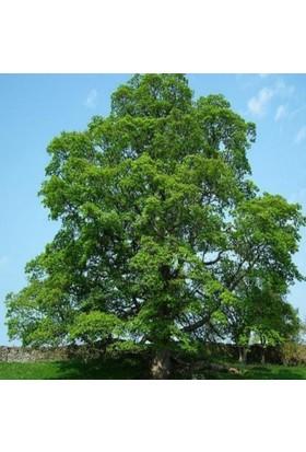 E-fidancim Tüplü Çınar Ağacı Fidanı