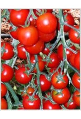 Yüksel Tohum Yeniçeri F1(Hibrit) Domates Tohumu (10 tohum)