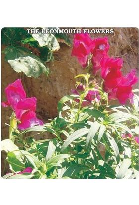 E-fidancim Aslan Ağzı Çiçeği Tohumu