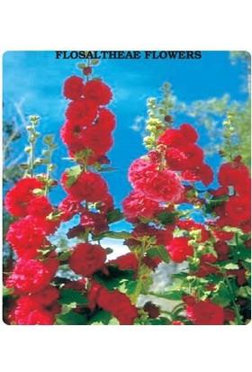 E-fidancim Hatim Çiçeği Tohumu