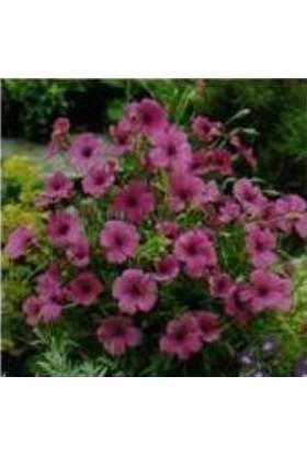 E-fidancim Pembe Poz Çiçeği Tohumu (50 tohum)