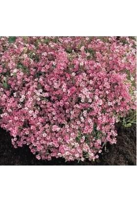 E-fidancim Pembe Bahar Yıldızı Çiçek Tohumu (500 tohum)