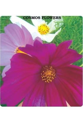 E-fidancim Cosmos Çiçeği Tohumu