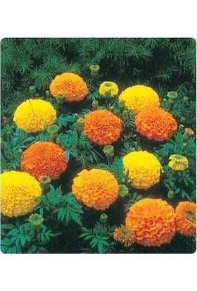 E-fidancim Kadife Boylu çiçeği Tohumu