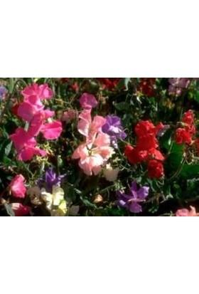 E-fidancim Karışık Renkli Sweety Bezelye Çiçeği Tohumu(20 tohum)