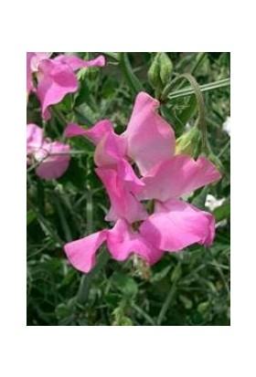 E-fidancim Lila Renkli Bezelye Çiçeği Tohumu(20 tohum)