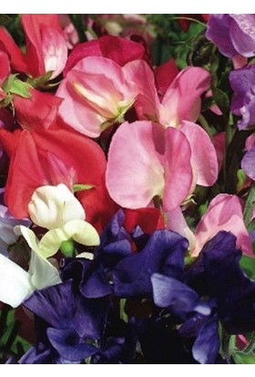 E-fidancim Quen Of Colour Bezelye Çiçeği Tohumu(20 tohum)