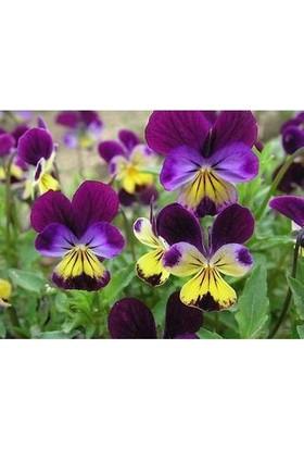 E-fidancim Renklerin Dansı Menekşe Çiçeği Tohumu(100 tohum)