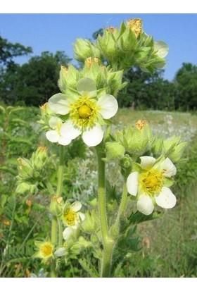E-fidancim Potentilla arguta Çiçeği Tohumu(100 tohum)