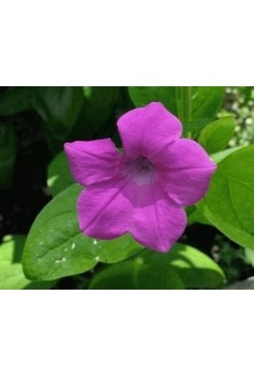 E-fidancim Purple Petunya Çiçeği Tohumu(100 tohum)