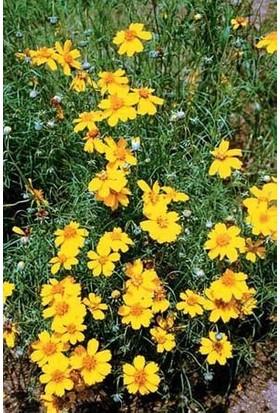 E-fidancim Sarı Papatya Çiçeği Tohumu(50 tohum)