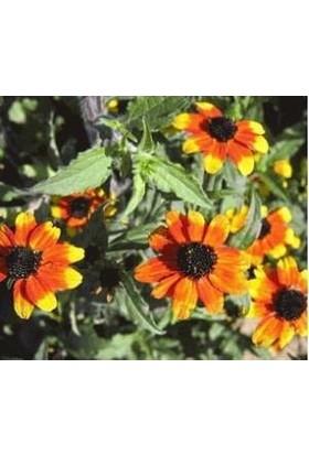 E-fidancim Nadir Üç Renkli Rudbekya Çiçeği Tohumu(100 tohum)