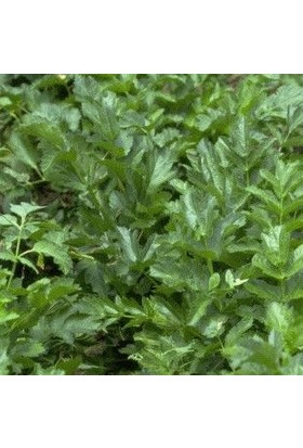 E-fidancim Doğal Koyu Yeşil Catalogna Garnet Stem Hindiba Tohumu(100 tohum)