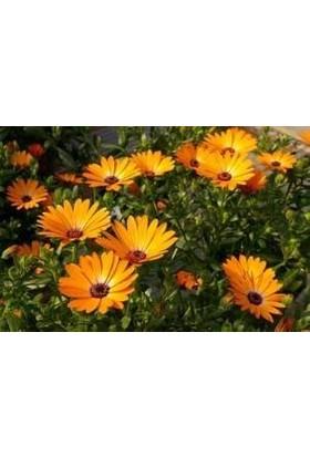 E-fidancim Turuncu Afrika Papatyası Çiçeği Tohumu(30 tohum)
