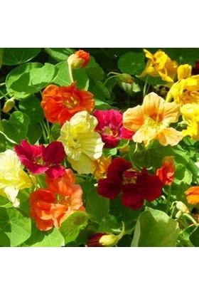 E-fidancim Sarı Rüya Latin Çiçeği Tohumu(10 tohum)