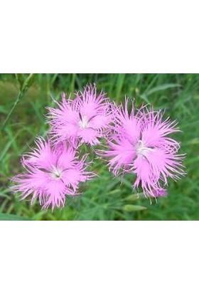E-fidancim Püsküllü Pembe Dianthus Çiçeği Tohumu(50 adet)