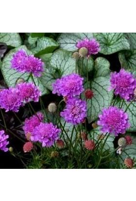 E-fidancim Lila Renkli Scabiosa Çiçeği(Uyuz Otu) Tohumu(20 tohum)