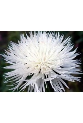 E-fidancim Uzun Boylu Beyaz Peygamber Çiçeği Tohumu(50 tohum)