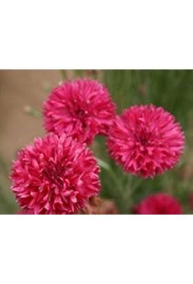 E-fidancim Kırmızı Bachelor Peygamber Çiçeği Tohumu(50 adet)