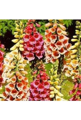 E-fidancim Karışık Renkli Yüksük(Yavşan) Otu Çiçeği Tohumu(100 tohum)