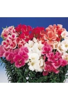 E-fidancim Katmerli Tricolor Sweety Godetia-Godetya(Ankara-Yer Açelyası) Çiçeği Tohumu(50 tohum)