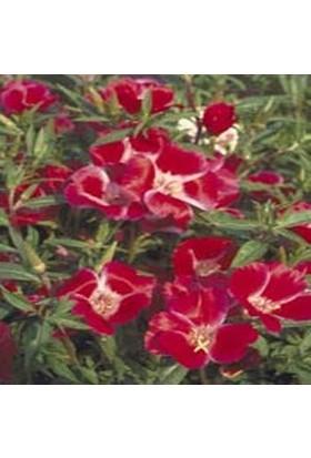 E-fidancim Kırmızı Grandiflora Meteor Godetia Yer Açelyası Çiçeği Tohumu(50 tohum)