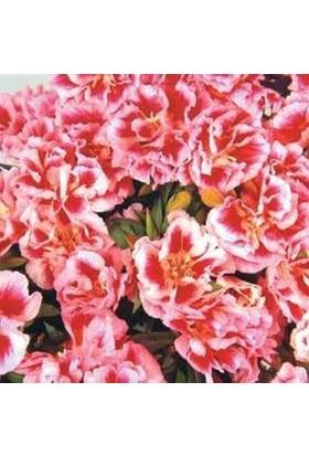 E-fidancim Doğal Rembrandt Godetia Yer Açelyası Çiçeği Tohumu(50 tohum)