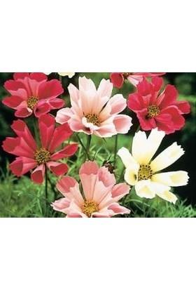 E-fidancim Kozmos(Cosmos) Denizi Kabukları Çiçeği Tohumu(30 tohum)