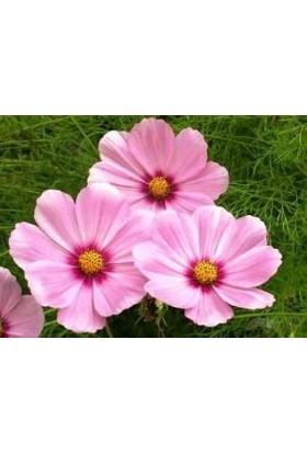 E-fidancim Gloria Kozmos Çiçeği Tohumu(40 tohum)