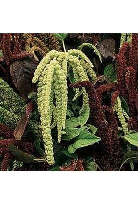 E-fidancim Amaranthus Caudatus Çiçeği Tohumu(50 tohum)
