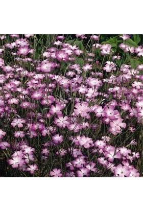 E-fidancim Lila Renginde Rosea Agrostemma(Karamuk) Çiçeği(Agrostemma Githago Milas Rose) Tohumu(25 tohum)