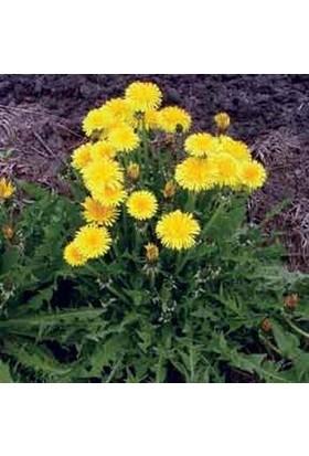 E-fidancim Aromatik Dandelion Taraxacum Officinale Karahindba Çiçeği Tohumu(100 tohum)