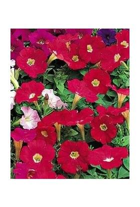 E-fidancim Kırmızı Bodur Petunya Çiçeği Tohumu (200 tohum)