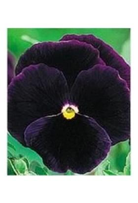 E-fidancim Mor Dev Hercai Menekşe Çiçeği Tohumu (50 tohum)