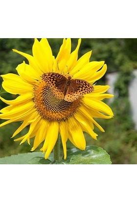 E-fidancim Zebulon Güneş Çiçeği Tohumu (15 tohum)