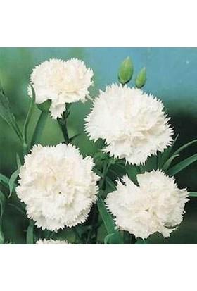 E-fidancim Beyaz Karanfil Çiçeği Tohumu (25 tohum)