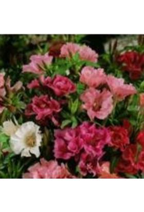 E-fidancim Karışık Renkli Ankara Çiçeği Tohumu (500 tohum(