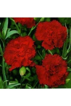 E-fidancim Kırmızı İri Çiçeği Karanfil Tohumu (50 tohum)