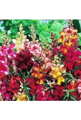 E-fidancim Karışık İri Aslan Ağzı Çiçeği Tohumu (90 tohum)