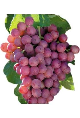 Yalova Fidan Market Pembe Çekirdeksiz Üzüm Fidanı (Tüplü) Omega Aşılı