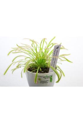Etobur Bitkim Drosera Capensis Güneş Gülü Tohum Yetiştirme Kiti Sinek Kapan Bitkisi