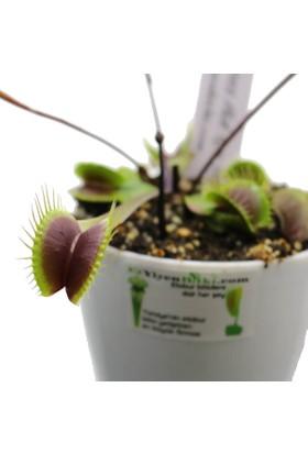 Etobur Bitkim Kırmızı Sinek Kapan Tohum Yetiştirme Kiti Teraryumlu