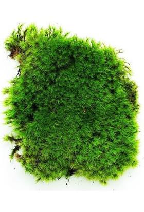 Agrotohum Canlı Yosun 25 × 25 , Akvaryum Yosun , Kaya Yosunu , Bolmoss , Sukulent , Kaktüs