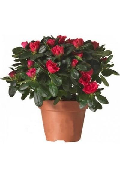 Açelya Çiçeği Kırmızı 25x35 cm