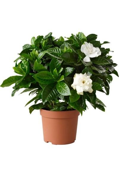 Gardenya Fidanı 30x40 cm