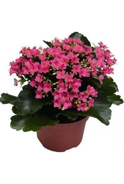 Karadeniz Fidancılık Kalançoe Çiçeği ( Kalanşo ) Pembe Renkli