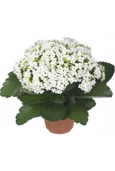 Karadeniz Fidancılık Kalançoe Çiçeği ( Kalanşo ) Beyaz Renkli