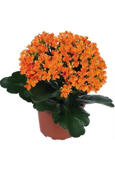 Karadeniz Fidancılık Kalançoe Çiçeği ( Kalanşo ) Turuncu Renkli