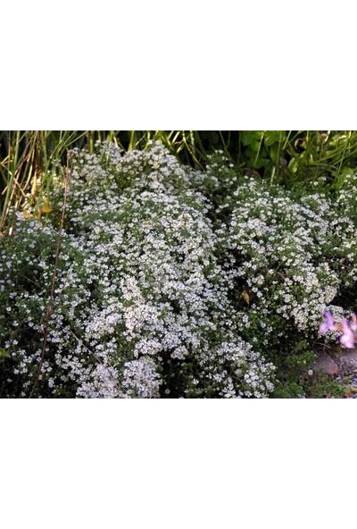 E-fidancim Beyaz Alçı Bahar Yıldızı Çiçeği Tohumu (400 tohum)