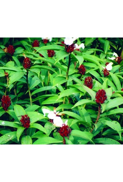 E-fidancim COSTUS speciosus Çiçeği Tohumu(5 tohum)